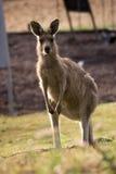 La verticale du kangourou Photographie stock