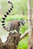 La verticale du lémur Image libre de droits