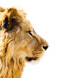 La verticale du lion Images libres de droits