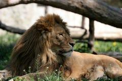 La verticale du lion photos libres de droits