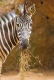 La verticale du zèbre mangeant l'herbe Images libres de droits