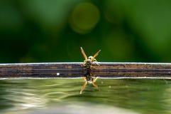 La vespa beve l'acqua Fotografia Stock