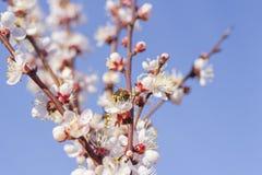 La vespa dell'ape che raccoglie il polline che impollina una molla del fiore fiorisce la fioritura sull'albero di albicocca degli fotografia stock