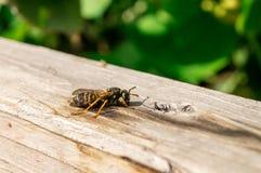 La vespa ha un resto Fotografia Stock