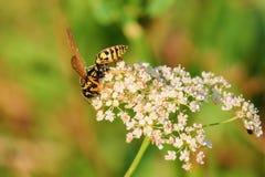 La vespa succhia il nettare dai piccoli fiori Immagine Stock Libera da Diritti