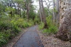 La via attraverso gli alberi di formicolio vicino all'albero completa il passaggio pedonale all'Australia occidentale di Walpole  Fotografie Stock Libere da Diritti