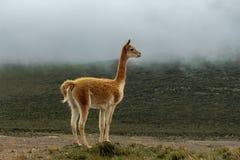La vicuña sola en amarra bajo neblina gris fotografía de archivo