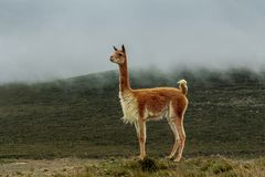 La vicuña sola en amarra bajo neblina gris imágenes de archivo libres de regalías