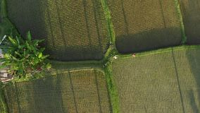 la vidéo de vol de la vue 4K aérienne de jeunes ajouter de lune de miel au petit chien dans la jungle de l'île de Bali, riz met e banque de vidéos
