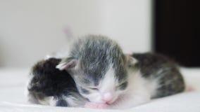La vidéo drôle deux chatons nouveau-nés mignons dorment travail d'équipe de mode de vie sur le lit concept d'animaux familiers de banque de vidéos