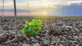 La vid crece en puesta del sol Imagen de archivo