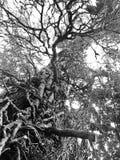La vid cubrió el árbol Foto de archivo