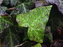 La vid de la hélice de Hedera se va con gotas de lluvia después de lluvia en diciembre Fotos de archivo libres de regalías
