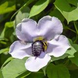 La vid de trompeta azul con la abeja de carpintero grande adentro canta Imágenes de archivo libres de regalías