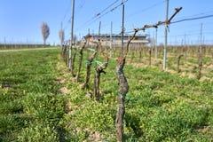 La vid de uva alinea en el invernadero, hierba verde fresca al principio de la primavera, Moravia Imagenes de archivo