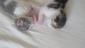 La vid?o dr?le deux chatons nouveau-n?s mignons d'animaux familiers dorment travail d'?quipe sur le lit concept d'animaux familie clips vidéos