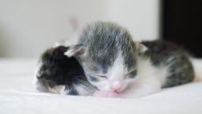 La vid?o dr?le deux chatons nouveau-n?s mignons dorment travail d'?quipe sur le lit concept d'animaux familiers de concept d'anim banque de vidéos