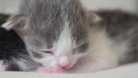 La vid?o dr?le deux chatons nouveau-n?s mignons dorment travail d'?quipe sur le lit concept d'animaux familiers de mode de vie de banque de vidéos