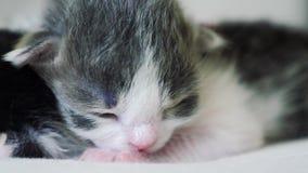 La vid?o dr?le deux chatons nouveau-n?s mignons dorment travail d'?quipe sur le lit Concept d'animaux familiers de concept de mod banque de vidéos