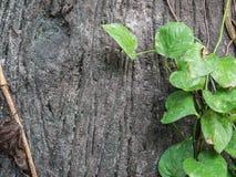 La vid verde crece lleno la madera vieja para la textura del fondo Fotos de archivo