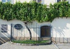 La vid vieja en Maribor Imagenes de archivo