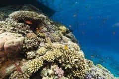 La vida acuática en el Mar Rojo imagen de archivo libre de regalías
