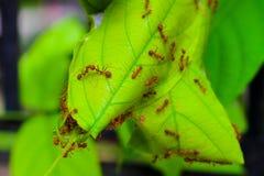 La vida de la hormiga, hormigas rojas que jerarquizan en árbol Imagenes de archivo