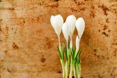 La vida de Pascua todavía florece el azafrán Foto de archivo
