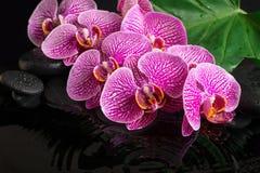 La vida hermosa del balneario todavía de la ramita floreciente peló la orquídea violeta Imagen de archivo libre de regalías