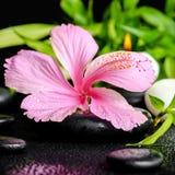 La vida hermosa del balneario todavía del hibisco rosado florece, bambú de la ramita Imagenes de archivo