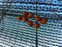 La vida salvaje, en mi jardín, pequeñas mariquitas Foto de archivo libre de regalías