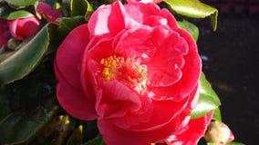 La vida salvaje por el camino, arbustos rojos de las flores fotografía de archivo libre de regalías
