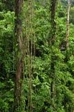 La vida vegetal enorme, tropical rodea la pista de senderismo de la selva tropical en la reserva biológica de Trimbina fotografía de archivo libre de regalías