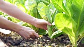 La video verdura di insalata senza antiparassitari organica ha selezionato e taglio dall'azienda agricola del giardino archivi video