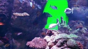 La vie d'aquarium avec l'écran vert banque de vidéos