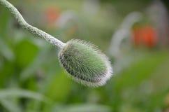 La vie d'une tige et d'un bourgeon floral de pavot montrant les poils minuscules Photographie stock