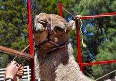 La vie de chameau images libres de droits