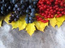 La vie de distillateur d'automne des feuilles jaunes d'érable, des raisins noirs et du rouge image libre de droits