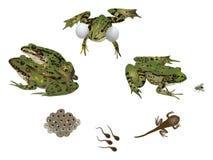La vie de la grenouille Image libre de droits