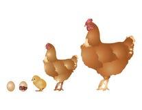 La vie de la poule Photos libres de droits