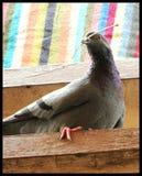 La vie de pigeon Photographie stock libre de droits
