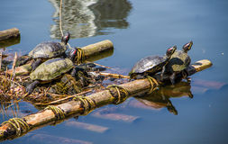 La vie de tortues Photos stock