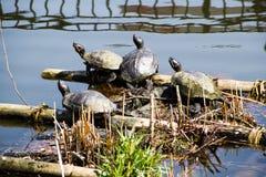 La vie de tortues Photo stock