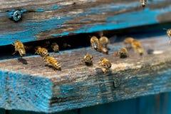 La vie des abeilles de travailleur Les abeilles apportent le miel Photos stock