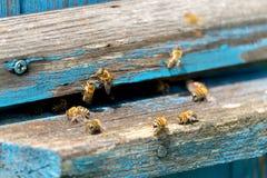 La vie des abeilles de travailleur Les abeilles apportent le miel Photos libres de droits