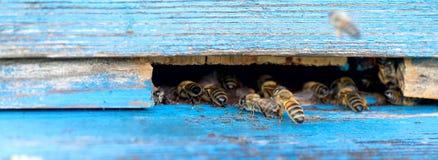La vie des abeilles de travailleur Les abeilles apportent le miel Images libres de droits
