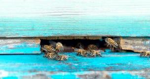La vie des abeilles de travailleur Les abeilles apportent le miel Photographie stock