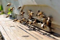 La vie des abeilles. Reproduction des abeilles photographie stock libre de droits