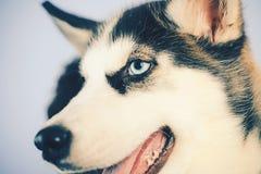 La vie est courte, jeu avec votre chien Chien de traîneau avec des yeux bleus et loup comme le regard Chien enroué Crabot d'anima image stock
