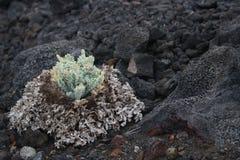 La vie florale sur les pierres volcaniques une belle structure naturelle images stock